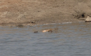 The Crocodile with the Impala at Point 2.