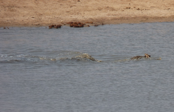 The Crocodile swims away with the freshly caught Impala just before it was chased by the Hippos for the first time.