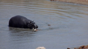 A Hippo moves towards the Crocodile at Point 3.