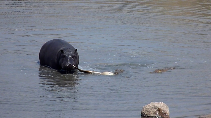 The Hippo tug of war with the Crocodile!