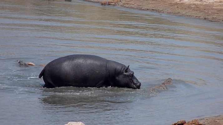 The Hippo chases a Crocodile while the other one escapes with the Impala towards Point 2.