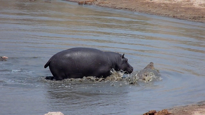 The Hippo keeps chasing the Crocodile while the other one swims away.