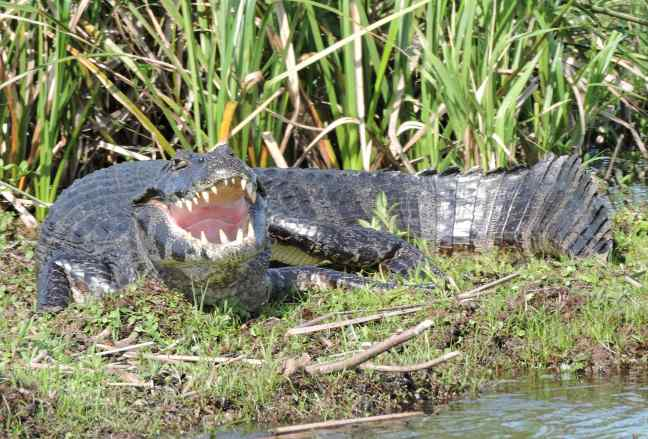 A Yacare (Caiman yacare) on a floating island at the Ibera lagoon. Picture by Julio A. de Castro.