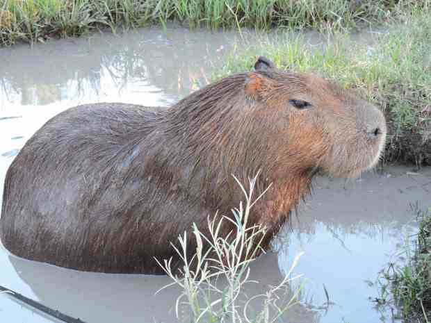 VIew of Capybara in bathtub.