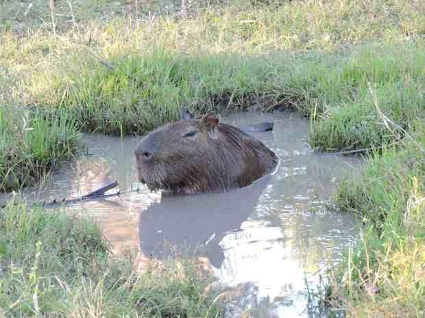 VIew of Capybara in bathtub.