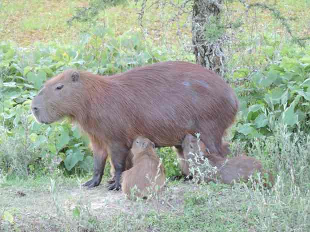 Suckling Capybaras.