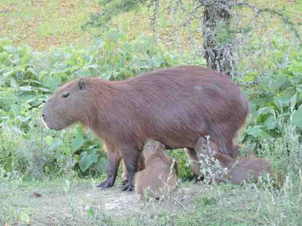 Female Capybara feeding her babies.