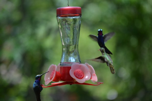A Glittering-bellied Emerald Hummingbird (left) and probably a female Blue-Tufted Starthroat Hummingbird at a feeder in Colonia Carlos Pellegrini.