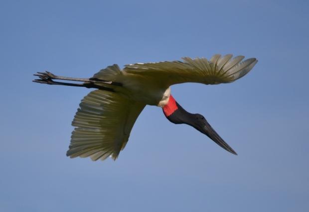 Mariana jabiru flying 2