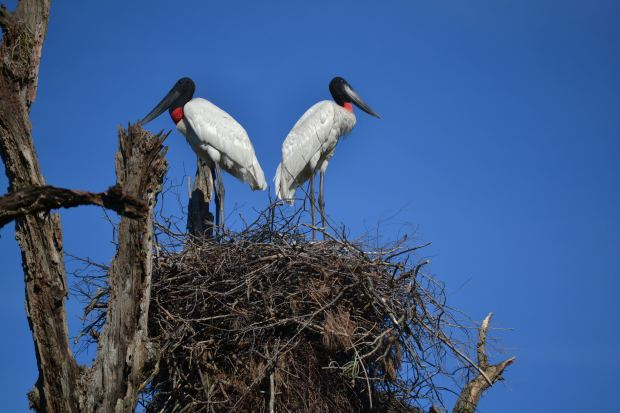 A pair of Jabiru Storks on their nest. Picture by Mariana Terra.