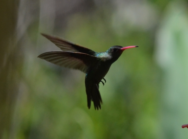 Close-up of the Glittering-Bellied Hummingbird.