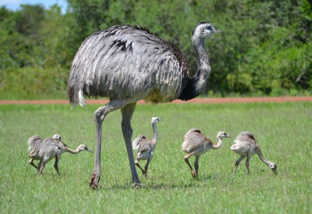 Rhea and chicks feeding. Picture by Mariana Terra.