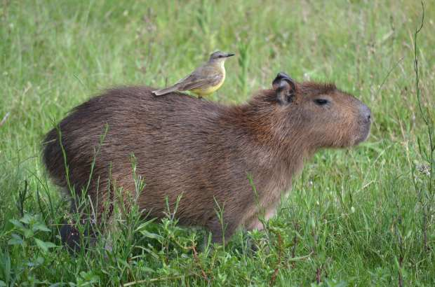 Capybara and rider. Picture by Mariana Terra.