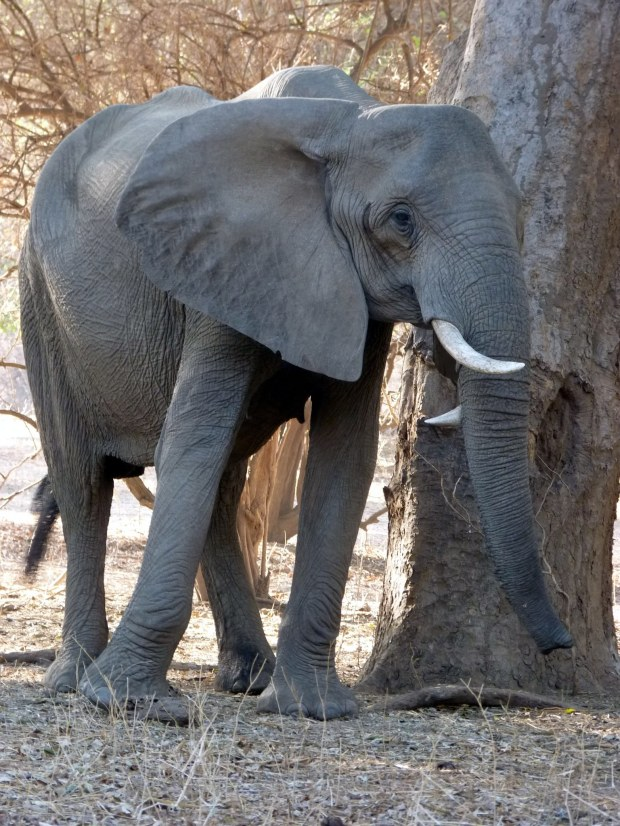 twisted tusker small 1
