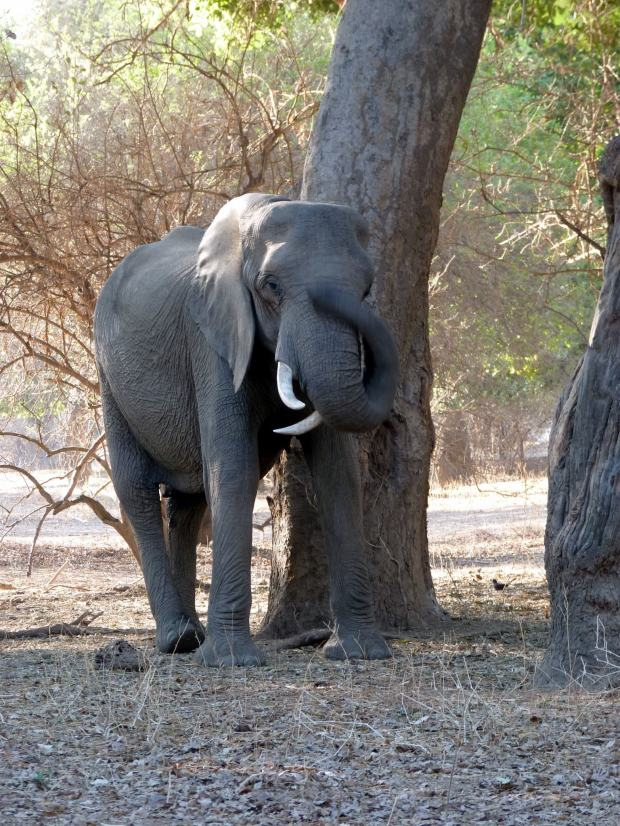Twisted tusker small