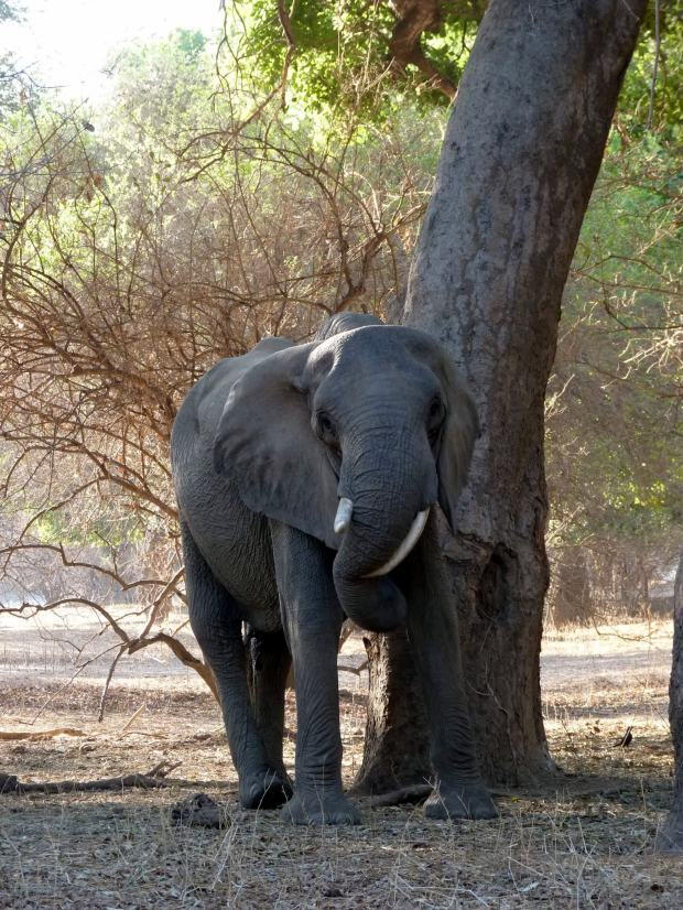 Twisted tusker trunk