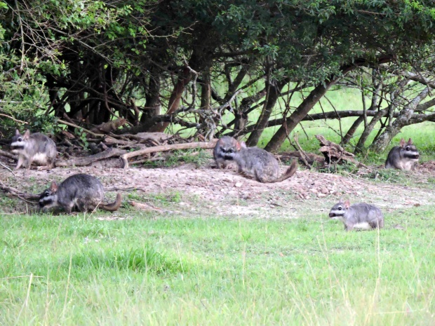 A family of Plains Vizcacha out in the evening.