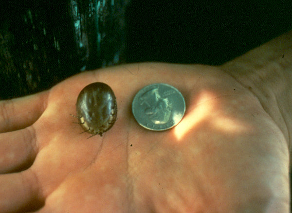 The size of a tick!