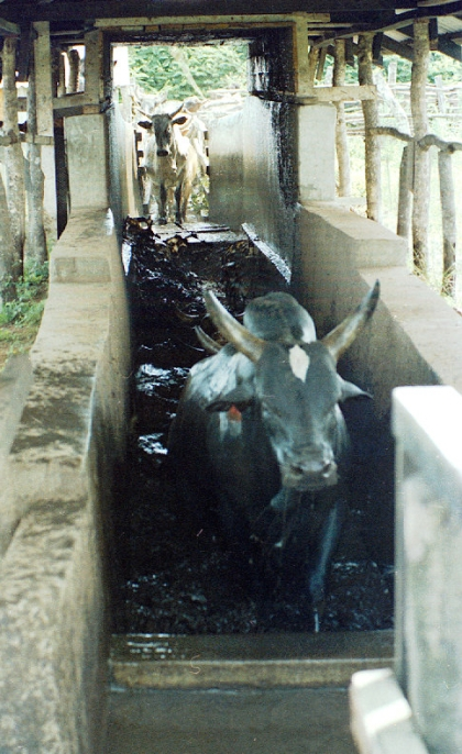 Cattle being dipped with acaricides.