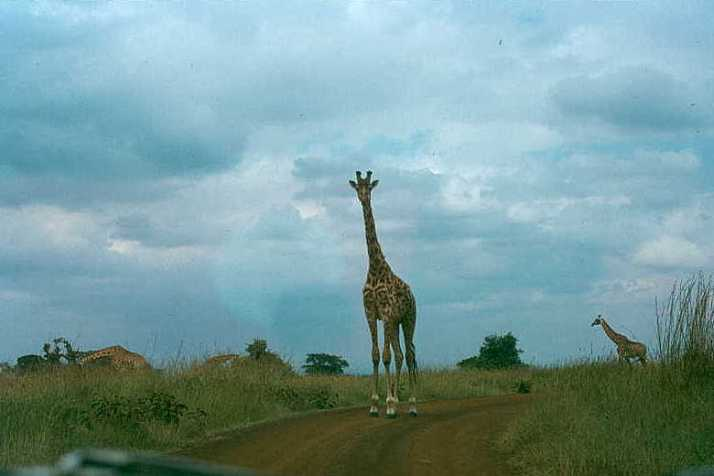My first giraffe at Nairobi National Park.