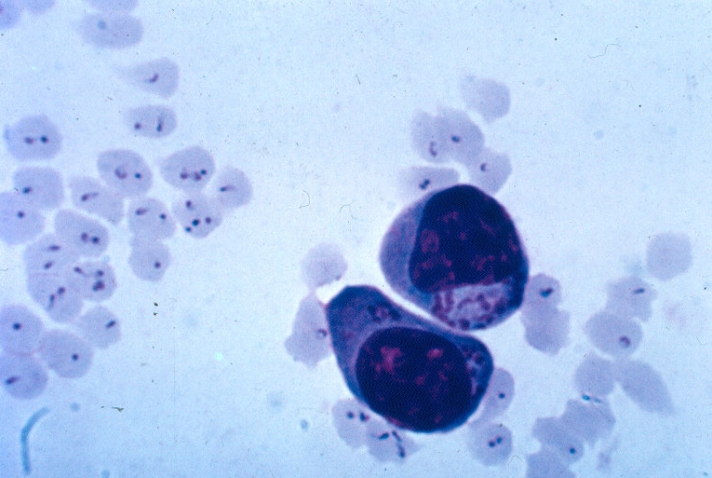 Theileria schizonts (inside cells with nucleai) and infected erythrocytes.