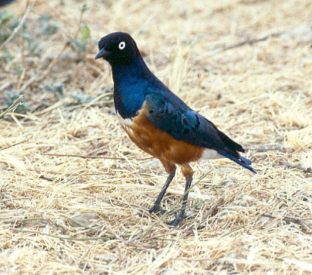 A Superb Starling (Lamprotornis superbus).