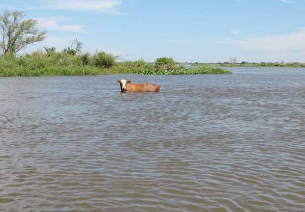 The cow in shallow water.