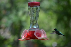 A Glittering-bellied Emerald hummingbird pictured at an artificial feeder in Colonia Carlos Pellegrini, Corrientes, Argentina.
