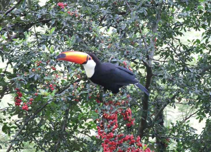 The Toco toucan feeding on the Hawthorn berries.