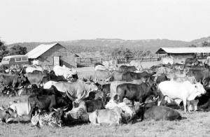 Cattle and facilities at Intona ranch.