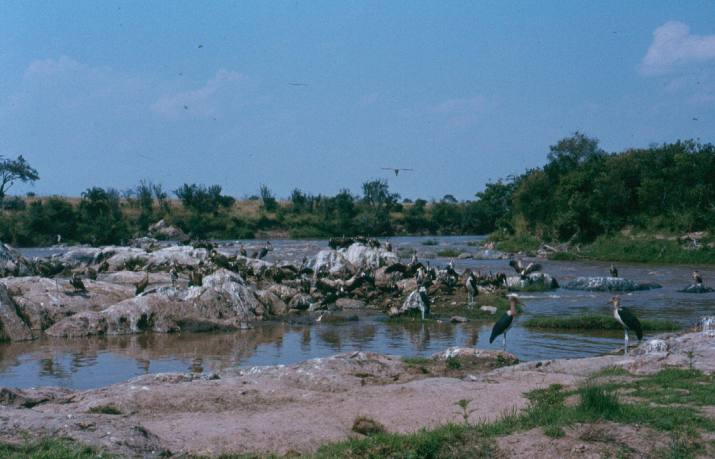 The aftermath of a wildebeest crossing of the Mara river.