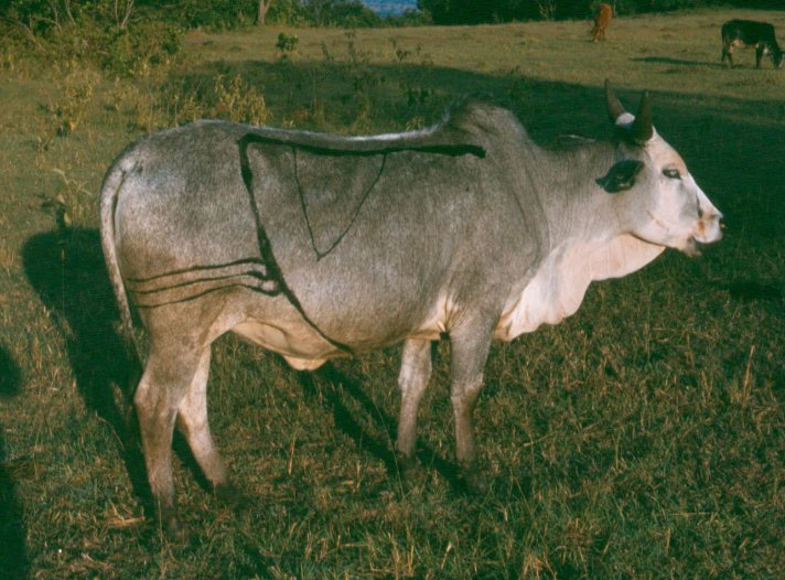 A Maasai heifer. Note the heavy branding.