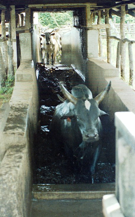 Cattle being dipped.