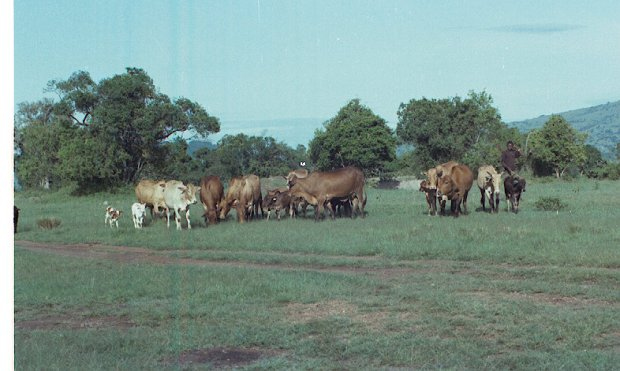 Intona cattle grazing