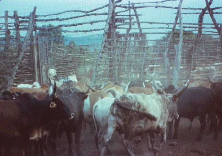 Intona cattle kraal cropped