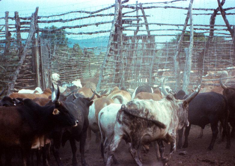 Intona cattle kraal