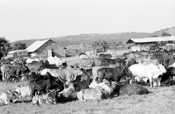 The cattle of Intona Ranch.