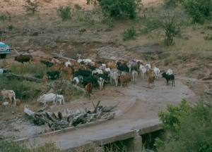 Maasai cattle at the Mara river bridge.