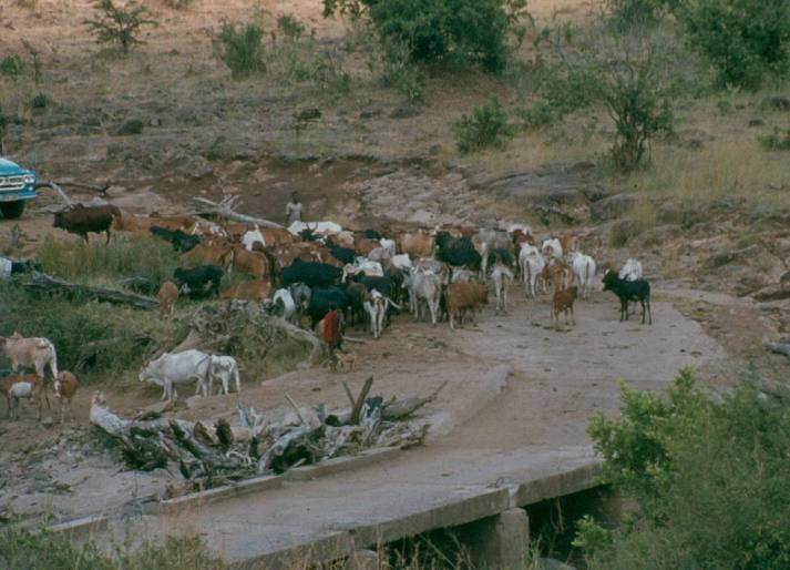 Maasai cattle at the Mara river bridge.