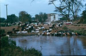 Cattle drinking at Narok dam. Note cars used at the time: VW Kombi, Land Rover Series III and Land Cruiser 50 series!