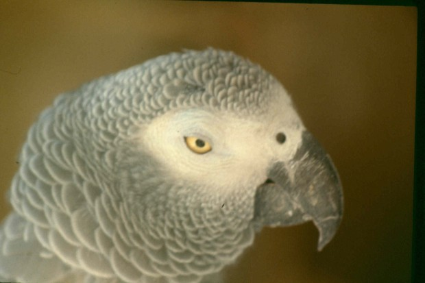 Richard's parrot.