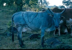 Maasai cow. Note how the branding shows in black over the grey coat.