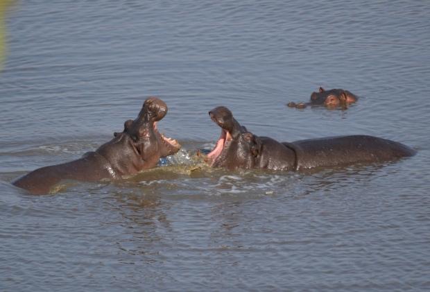 Hippo conversation!