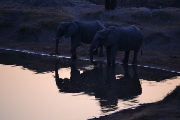 Elephants drinking at sunset.
