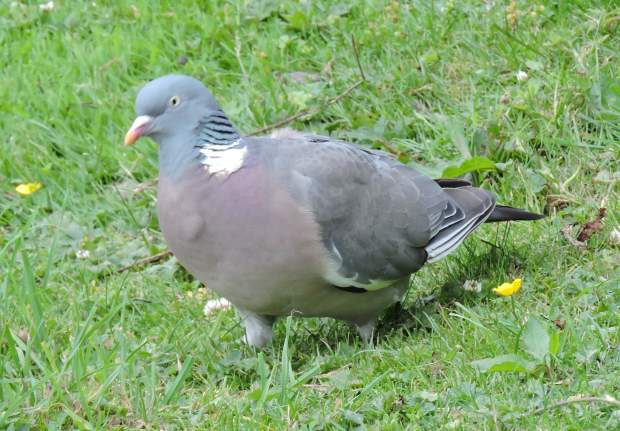 A heavy Wood pigeon searching.