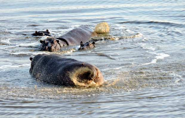 "Hippos involved in ""social"" defecating..."