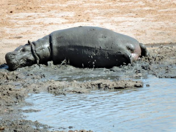 Hippos were not interested in Impala meat this time!