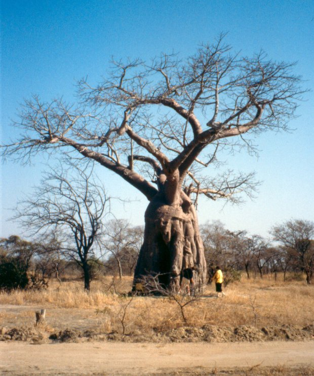 The Lochinvar baobab and my daughter.