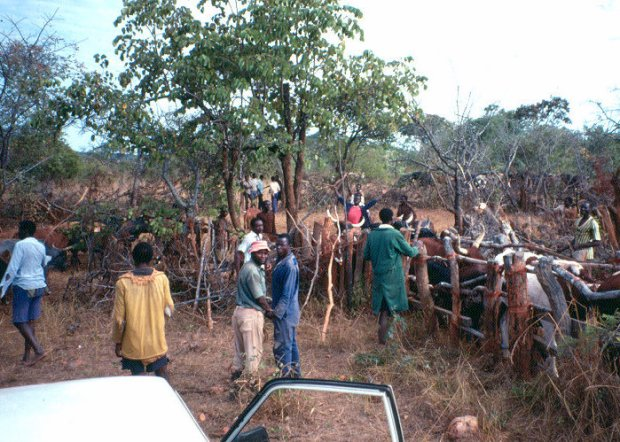 Cattle work in Southern Province, Zambia.