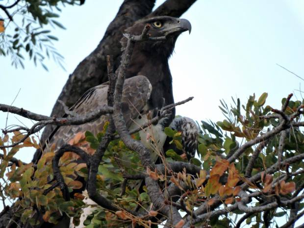 The only picture of the Martial eagle.